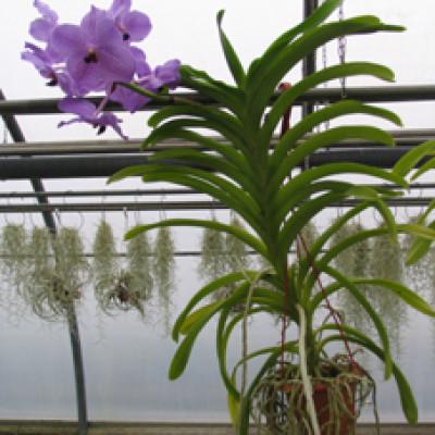Florartistica snc orchidea vanda florartistica snc for Tillandsia prezzo