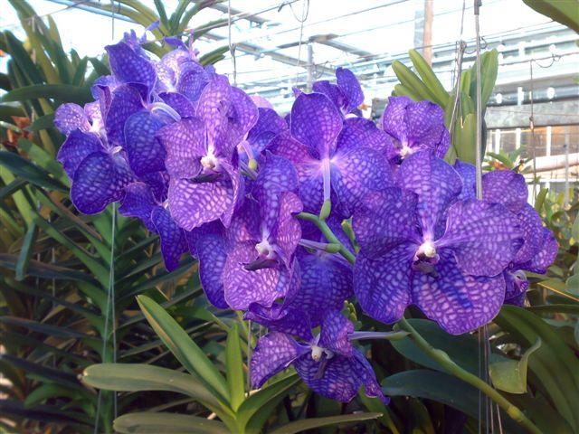 Florartistica snc orchidea vanda florartistica snc for Orchidea prezzo