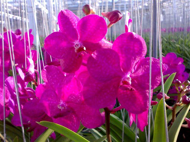 Florartistica Snc Orchidea Vanda Florartistica Snc
