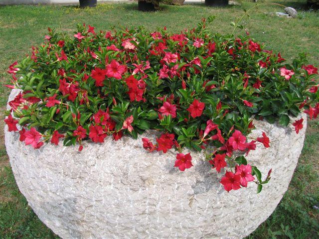 florartistica snc dipladenia sundaville florartistica snc