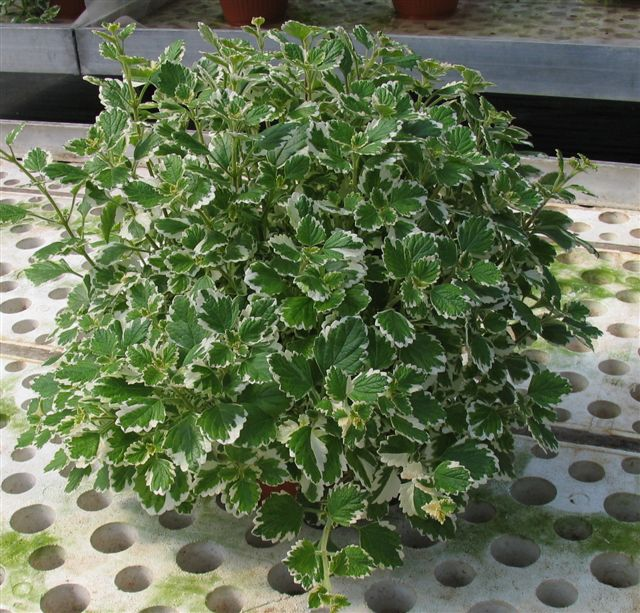 Florartistica snc Plectranthus - Florartistica snc