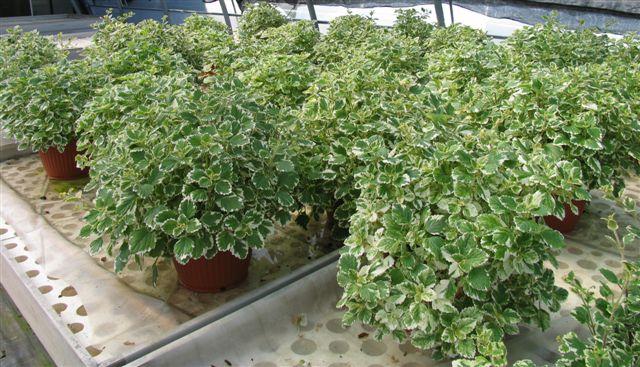 Florartistica snc plectranthus florartistica snc for Piante da giardino perenni pieno sole